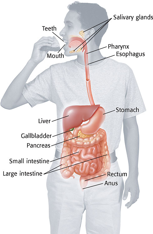 Science6shms licensed for non commercial use only how the body works quizlet click below to go to the site digestive system quiz ccuart Image collections